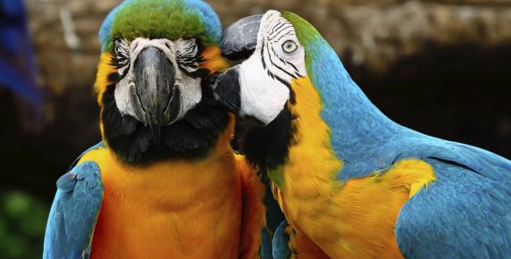 Perroquets forêt tropicale à Descartiers Ste Lucie