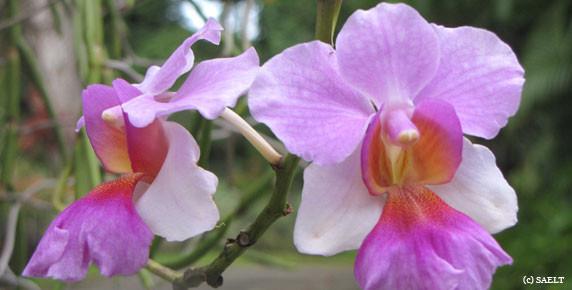 orchidee-guadeloupe